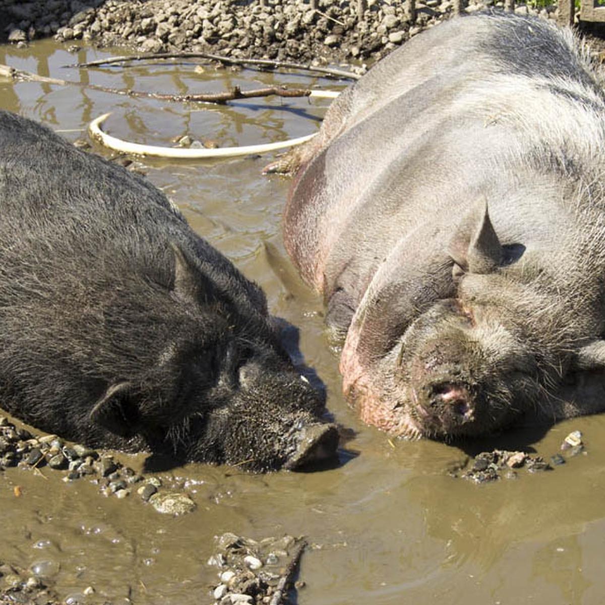Porcikomodi Il Paradiso Dove Gli Animali Da Reddito Vivono Felici Lifegate