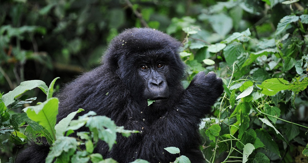 Anche i gorilla alla notte degli Oscar, nomination per Virunga
