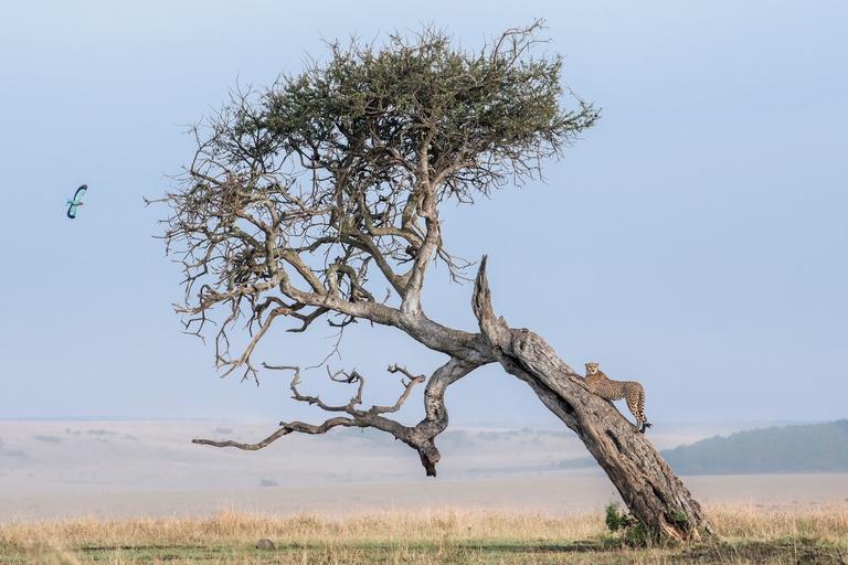 cheetah di pohon