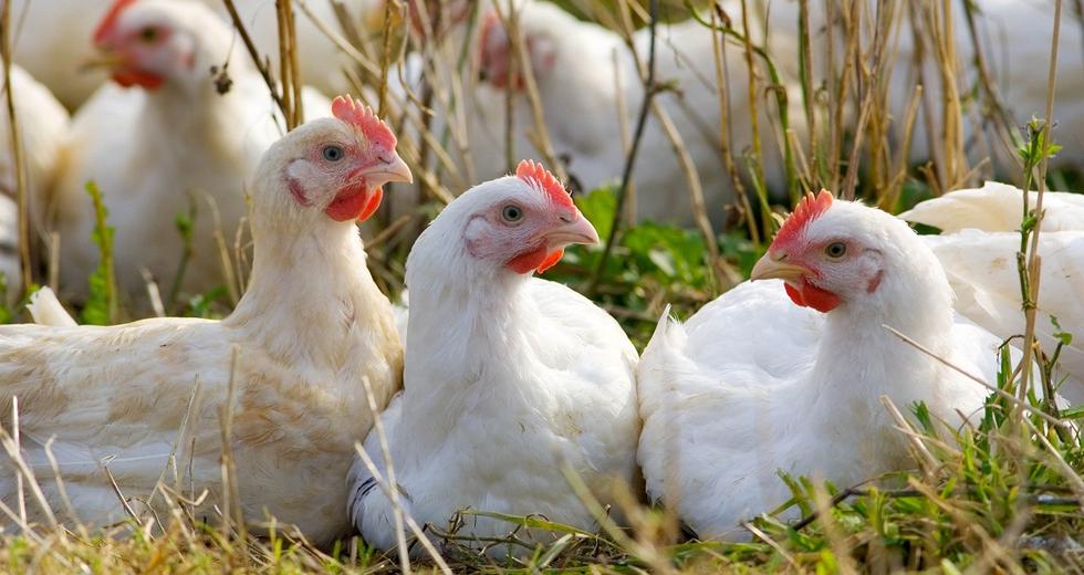 Uova, come riconoscere come vengono allevate le galline ovaiole