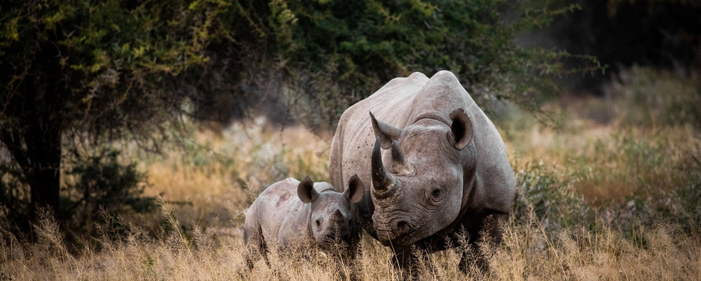Zimbabwe, i rinoceronti tornano nel parco di Gonarezhou dopo 30 anni