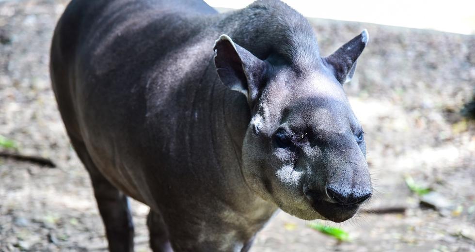 Come i tapiri contribuiscono alla rinascita delle foreste in Brasile