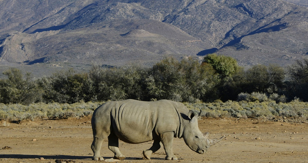 Dal Sudafrica al Botswana, 100 rinoceronti in fuga dai bracconieri