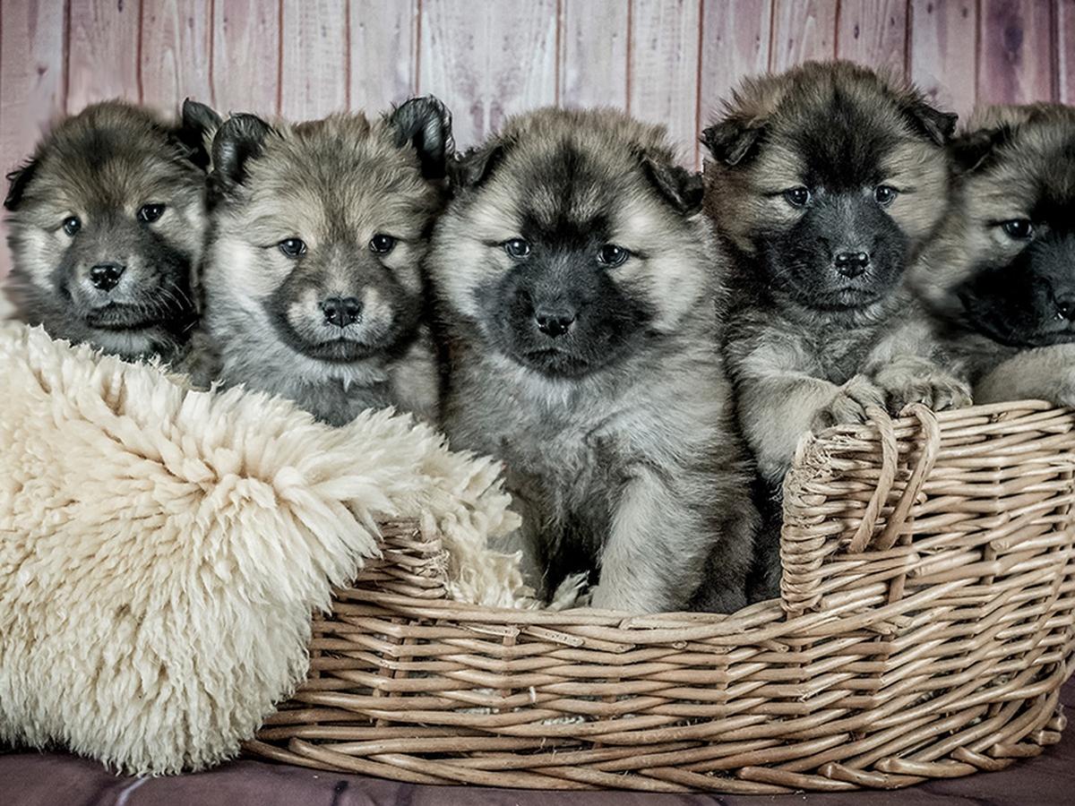 giardia cane quanto dura)