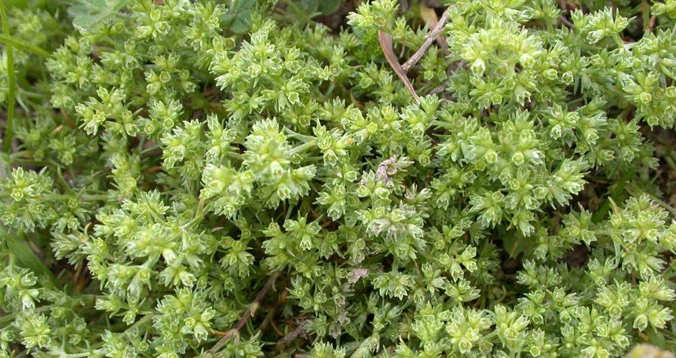 Scleranthus, i fiori di scleranto