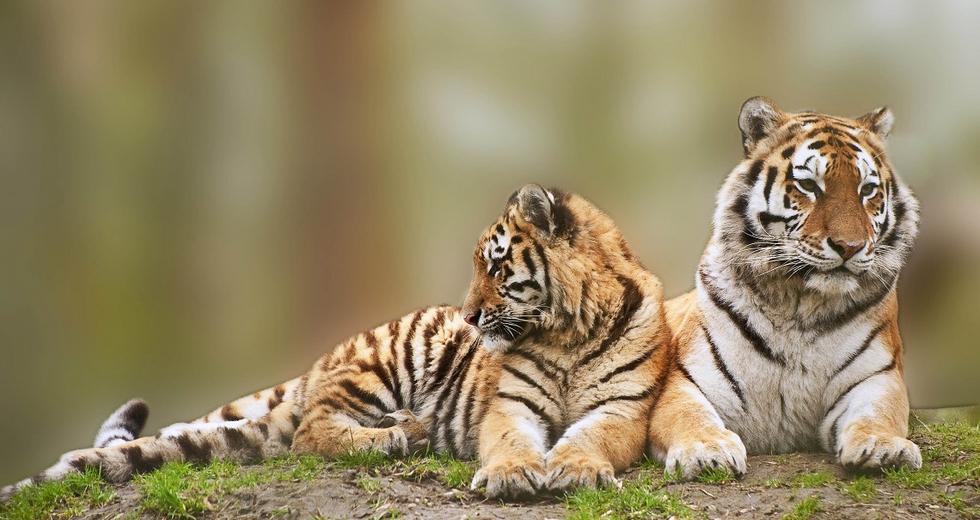 Il Nepal ha (quasi) raddoppiato la sua popolazione di tigri