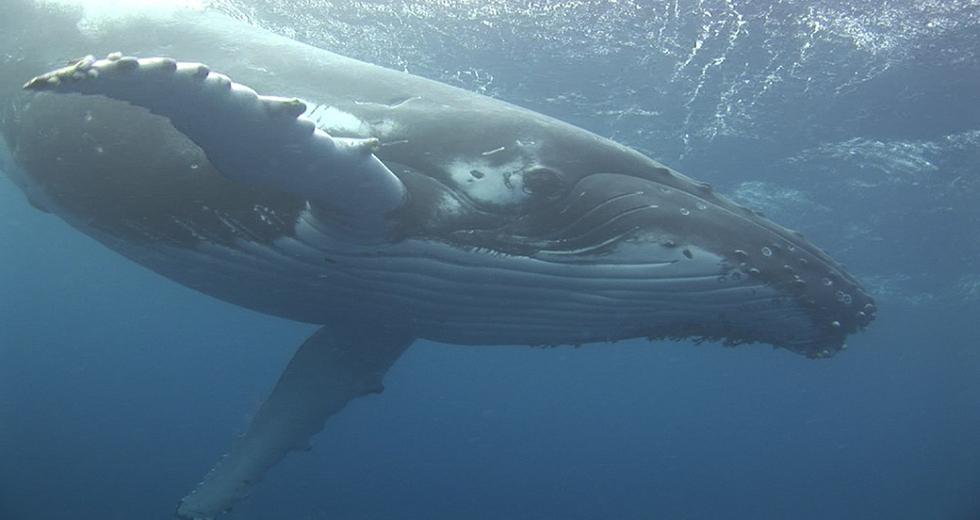 Il Giappone ignora la legge, riparte la caccia alle balene