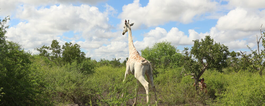 The world's last white giraffe wears a GPS to protect it from poachers